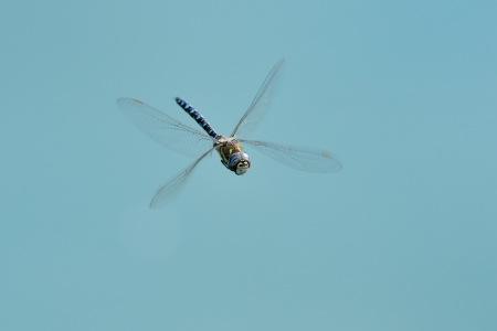 anisoptera: Hairy dragonfly flying Stock Photo