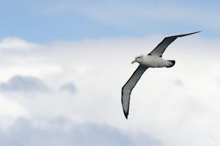 Black-browed Albatross flying against sky.