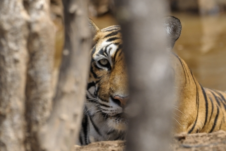 Portait of a Bengal Tiger through trees
