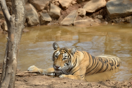 ly: Bengal Tiger in a waterhole