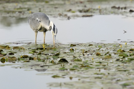 Grey Heron foraging in a pond photo