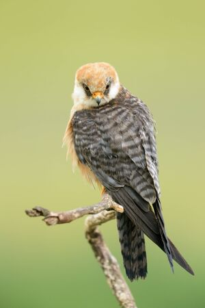 falconidae: Red-footed Falcon sitting on a branch