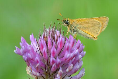 Ochlodes sylvanus, butterfly on a purple flower