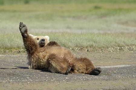 oso: Grizzly Bear acostado en la playa y se extiende