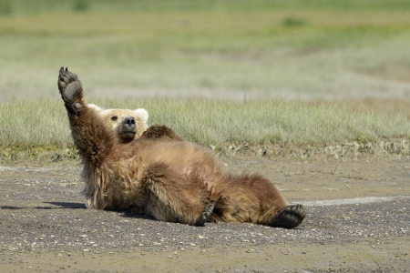 Grizzly Bear lying on beach and stretching photo