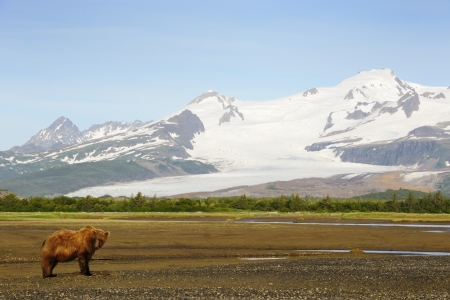 snow capped mountain: Grizzly Bear in landscape with snow capped mountains