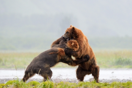 grizzly bear: Two Grizzly Bears fighting