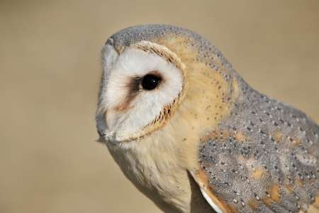Portrait of a Barn Owl photo