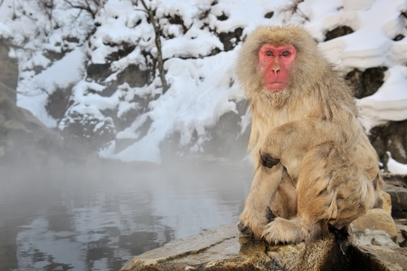 Japanese Macaque sitting next to a hot spring  Stock Photo