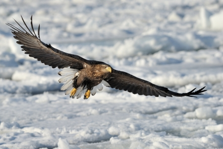 White-tailed Sea Eagle flying above the pack ice  Stock Photo