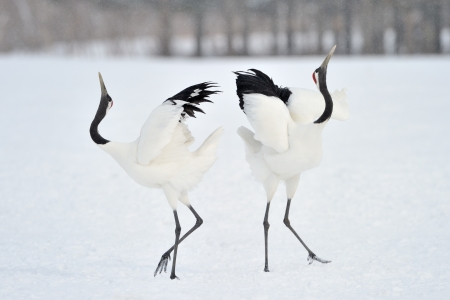 Two Red-crowned Cranes in courtship
