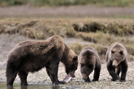 Mother Grizzly Bear with two cubs feeding on fish