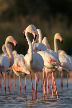 Group of Greater Flamingo standing in a pond. photo