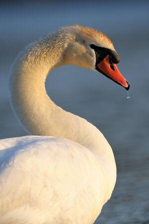 mute swan: Portrait of a Mute Swan.