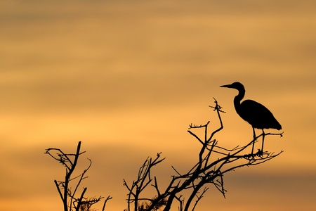 Grey Heron in treetop with sunset. photo