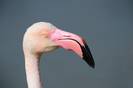 wader: Portrait of a Greater Flamingo.