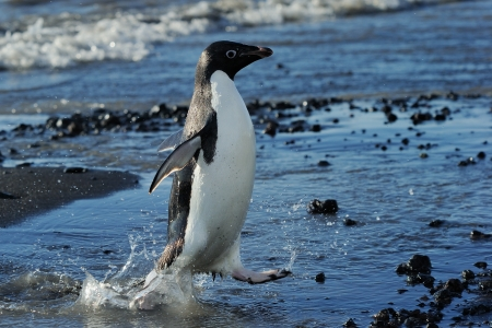 penguin colony: Adelie Penguin coming out of the water Stock Photo