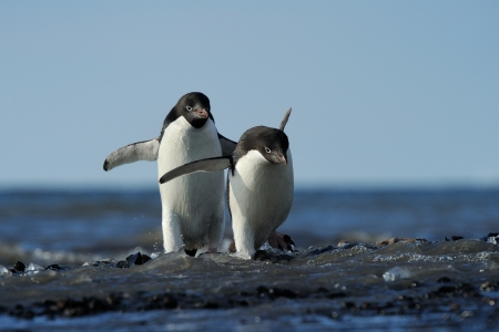 penguin colony: Two Adelie Penguin coming out of the water