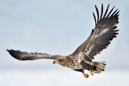 big bird: White-tailed Sea Eagle flying above the pack ice.