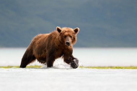 Grizzly Bear fishing in coastal waters photo