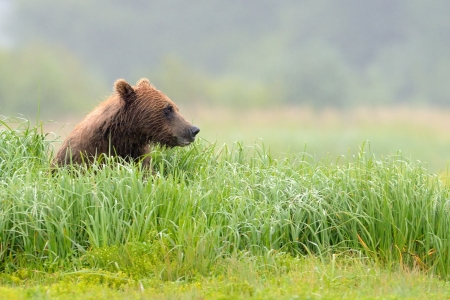 Grizzly Bear sitting in grass Stock Photo