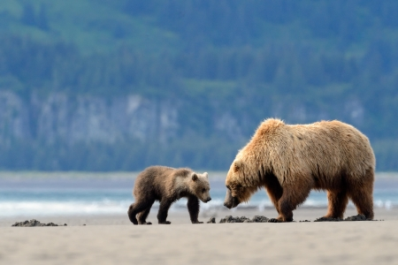 grizzly: Mother Grizzly Bear with cub feeding on clamps