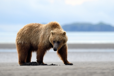 Grizzly Bear foraging on beach