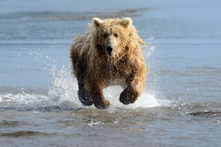 brown bear: Grizzly Bear fishing in coastal waters