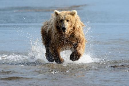 grizzly: Grizzly Ours p�che dans les eaux c�ti�res Banque d'images