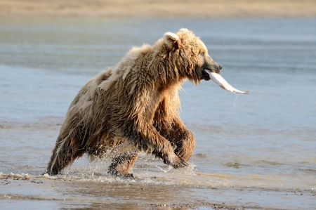 Grizzly Bear vissen in kustwateren photo