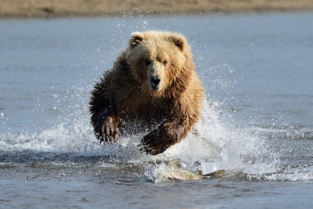 Grizzly Bear jumping at fish photo