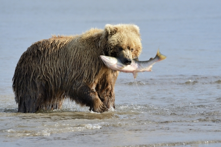 catch of fish: Grizzly Bear with salmon in mouth