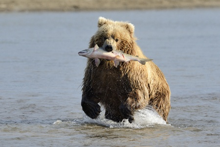 Grizzly Bear with caught salmon photo