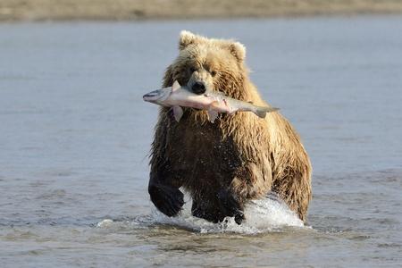 grizzly: Grizzly Bear z złowionych łososi