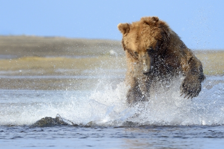 Grizzly Bear jumping on fish photo