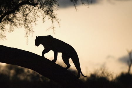 Leopard walking on a tree at sunset Stock Photo - 21777316