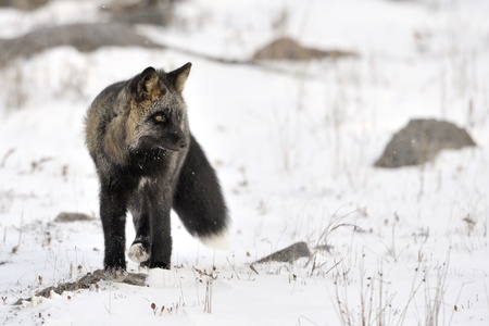 canid: Red fox with black fur standing in snow
