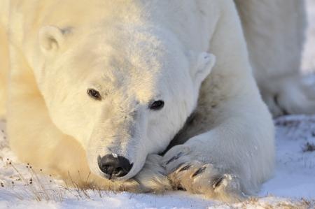 ly: Polar bear portrait  Stock Photo