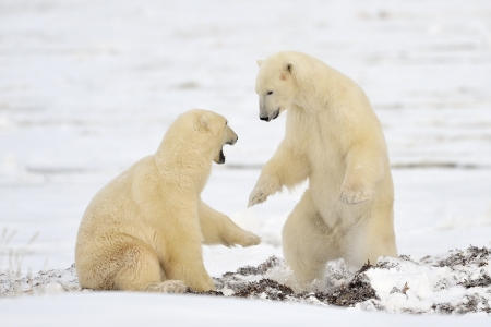 Two Polar Bears play fighting  photo
