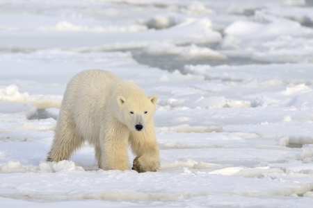polar bear on ice: Polar bear walking on pack-ice