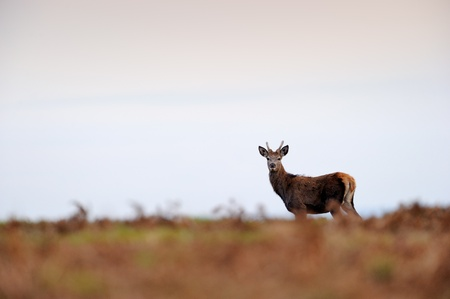 elaphus: Female Red Deer walking on hill with sunset