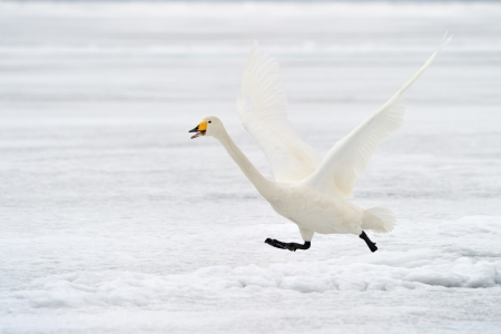 Whooper Swan taking off for flight  photo