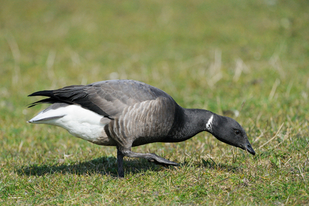brent: Brent Goose foraging on farmland  Stock Photo