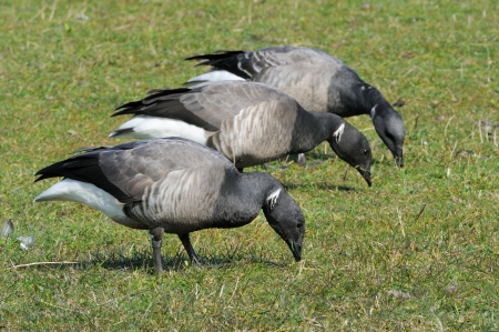 brent: Brent Goose foraging together on farmland  Stock Photo