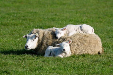 texel: Two lambs lying with and on mothers back