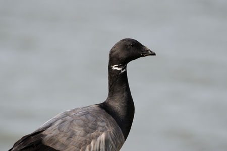 Portrait from a Brent Goose  photo
