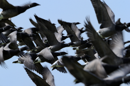 brent: Group of Brent Goose flying close-up