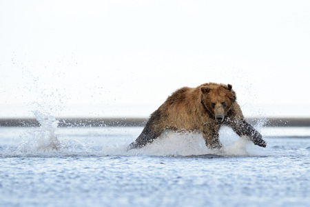 salmon leaping: Grizzly Bear running at salmon