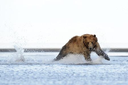 alaskan bear: Grizzly Bear running at salmon