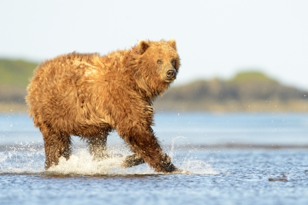 Grizzly Bear running in water at salmon photo